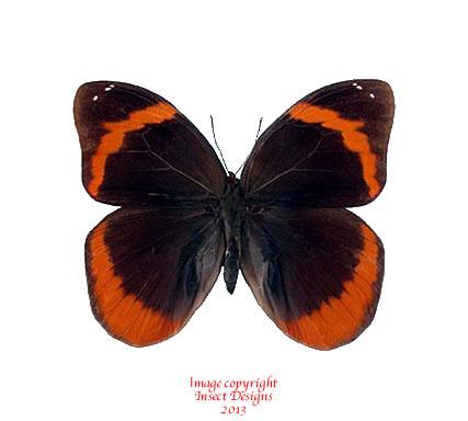Catoblepia berecynthia (Peru)