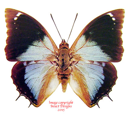 Charaxes bohemani (Tanzania) A2