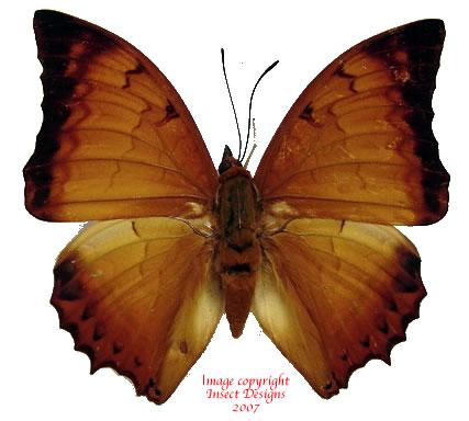 Charaxes distanti distanti (Malaysia)
