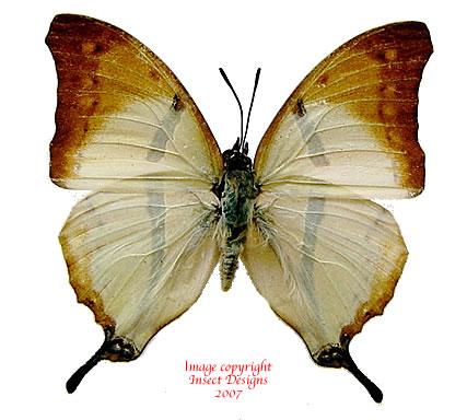 Charaxes kaldeni f. homeyeri (RCA) A2