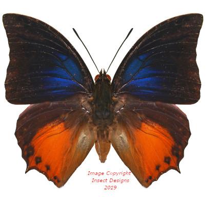 Charaxes mars (Sulawesi)