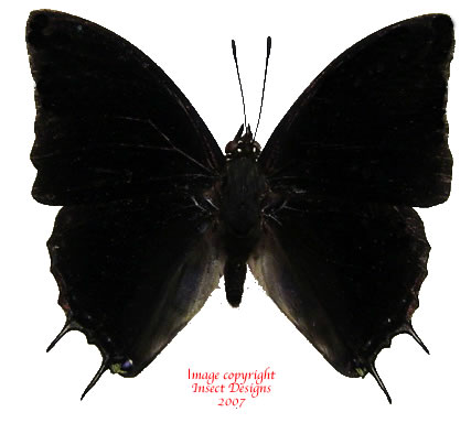 Charaxes ethalion (Tanzania) A-