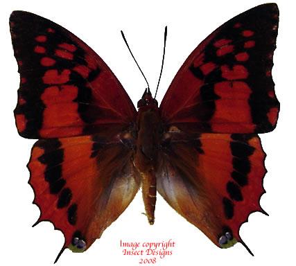 Charaxes lasti (Tanzania) A1 and A-