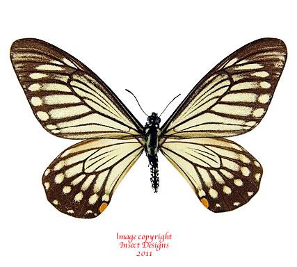Chilasa epycides hypochra (Thailand) A-