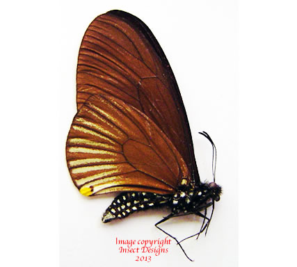 Chilasa slateri perses (Malaysia)