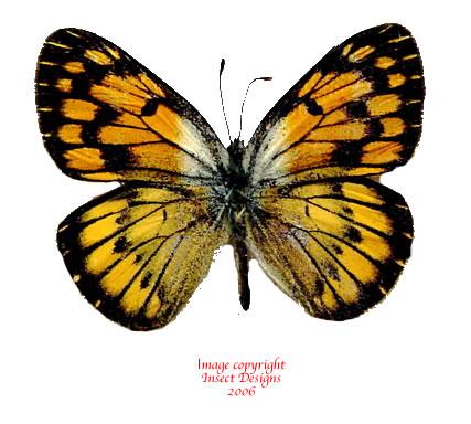 Colotis aurigineus (Tanzania)