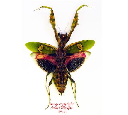 Creobroter gemmatus (Java) A2