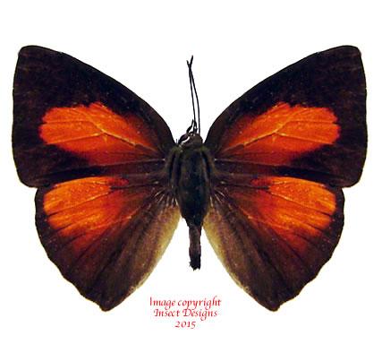Curetis sp. (Malaysia)