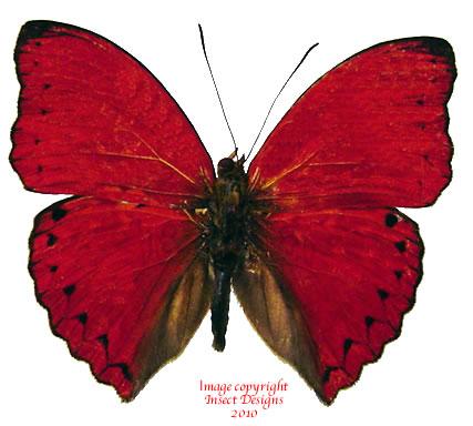 Cymothoe excelsa (RCA) A2