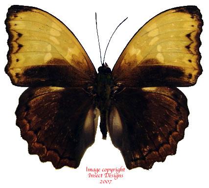 Cymothoe haynac diphyia (RCA)