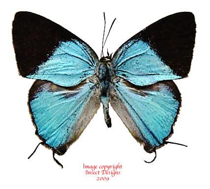 Dacalana aristarchus (Philippines)