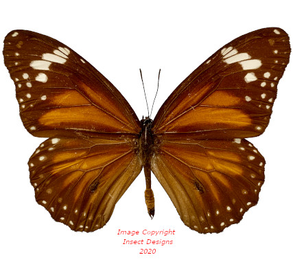 Danaus affinis (Ceram) A2