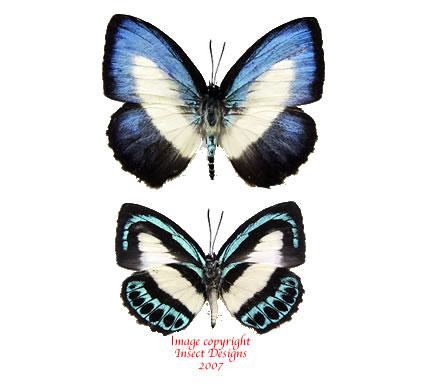 Danis danis apollonius (Papua)