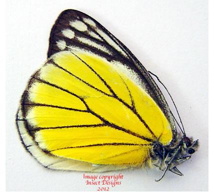 Delias baracasa (Malaysia)
