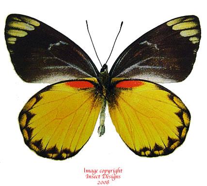 Delias belisama belisama (Java/Sumatra) A2