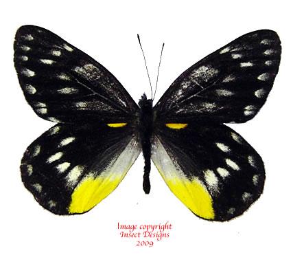 Delias belladonna (Malaysia) A-