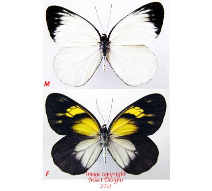 Delias diaphana sachagutti (Philippines)