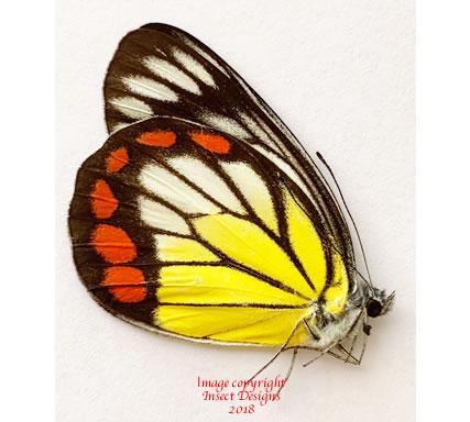 Delias hyparete mindorensis (Philippines) A-