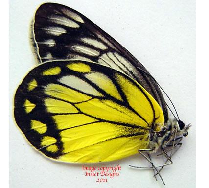Delias rosenbergi munaensis (Muna)