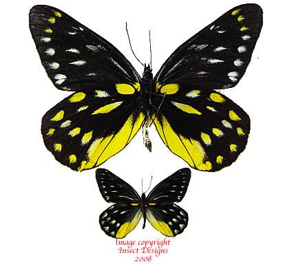 Delias sanaca perspicua (Thailand) A2