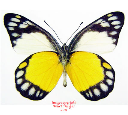 Delias themis soteira (Philippines)