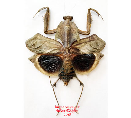 Deroplatys dessicata (Malaysia)