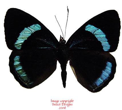 Diaethria neglecta (Peru) A2