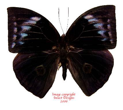Discophora necho (Java) A-
