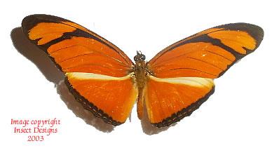 Dryas julia (Peru) A-