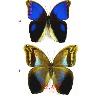 Eryphanis polyxena (Costa Rica) A1 or A2