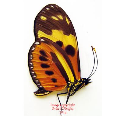Eueides isabella (Peru)