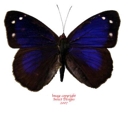 Eunica bechina (peru) A-