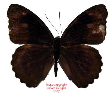 Eunica malvina (Peru) A2
