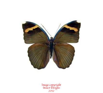 Euphaedra spatiosa (RCA) A2