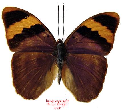 Euphaedra neophron (Tanzania) A-