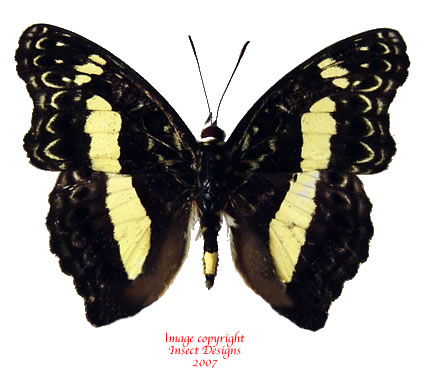 Euptera kinungnana (Tanzania) A2