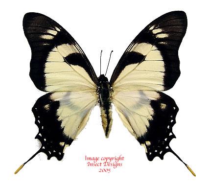 Eurytides dolicaon deileion (Peru)