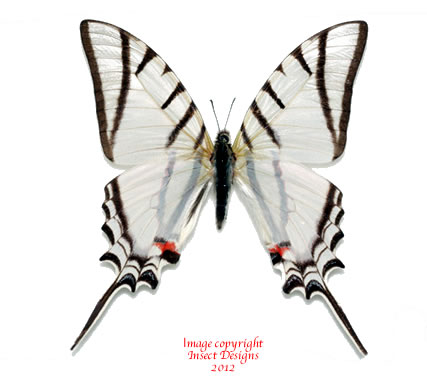Eurytides protesilaus dariensis (Panama) A-