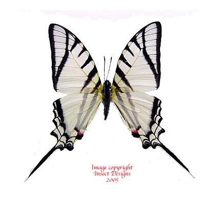 Eurytides protesilaus (Peru)