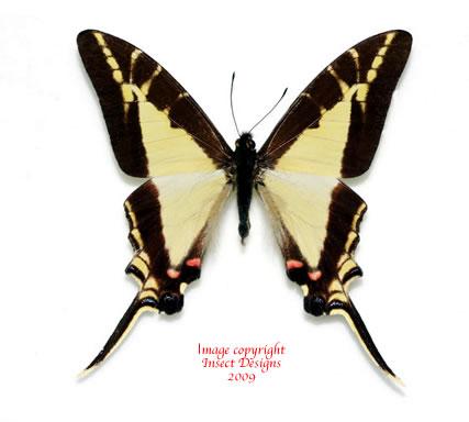 Eurytides calliste olbius? (Costa Rica) A2