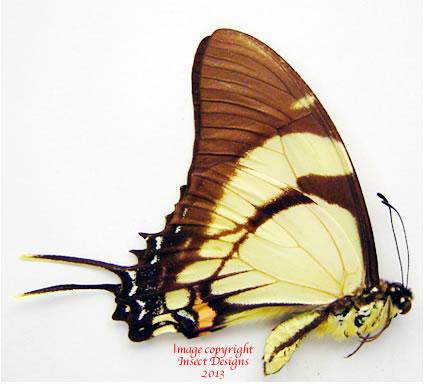 Eurytides salvini ? (Peru)