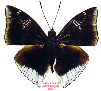 Euthalia phemius phemius (Thailand)