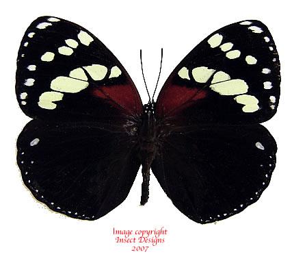 Euxanthe tiberius (Tanzania) A-