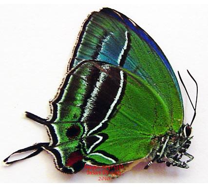 Evenus sumptuosa (Peru)