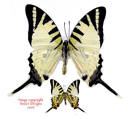 Graphium decolor decolor (Philippines) A2