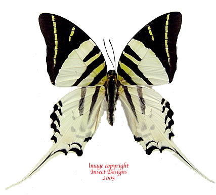 Graphium androcles androcles (Sulawesi) A-