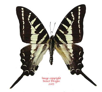 Graphium aristeus aristeus (Indonesian Islands)