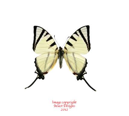 Graphium agetes insularis (Sumatra) A-