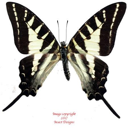 Graphium aristeus (Ceram) A2