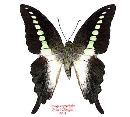 Graphium codrus christobalus (Makira, Solomons)